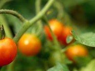 Ventajas de los tomates