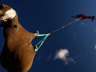 Rinoceronte negro africano volador.