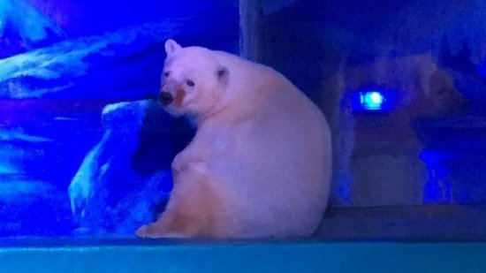Pizza: el oso polar más triste del mundo