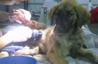 La protectora Scooby rescata a una cachorra herida cerca del Lago de Sanabria.