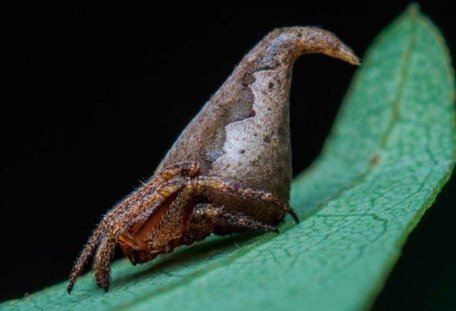 Esta es la araña, en la cual se puede apreciar su parecido a el Sombrero Seleccionador